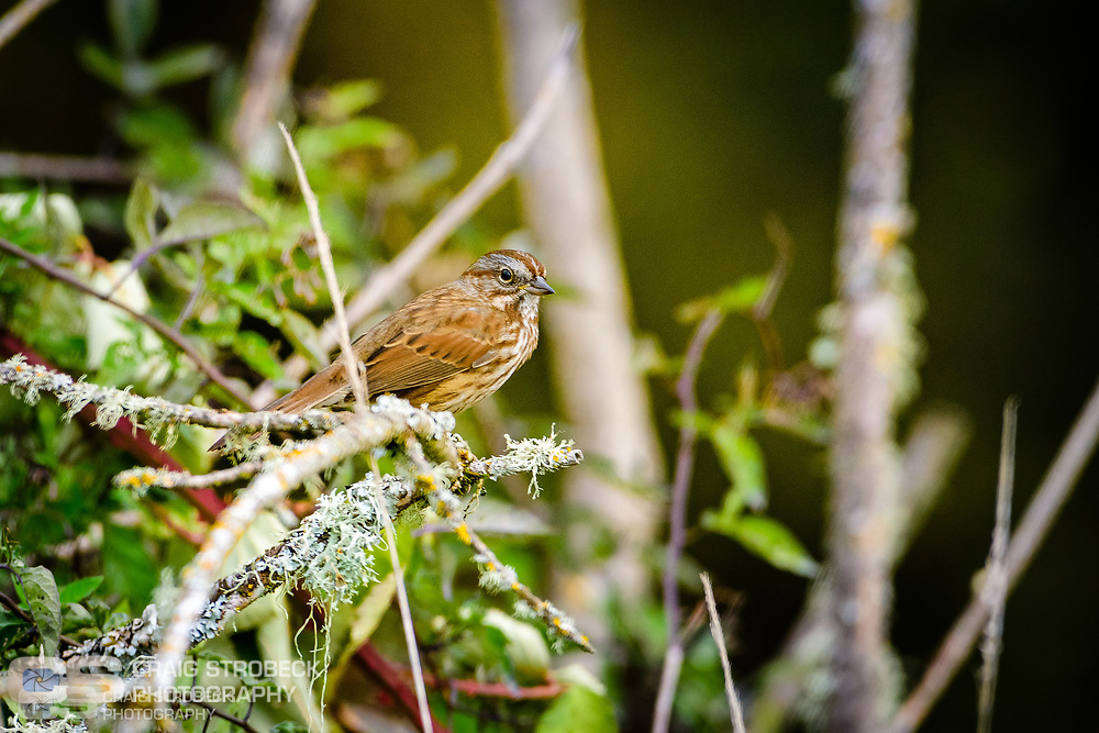 Song Sparrow photographed at Washburn Lane area west of Junction City, Oregon.