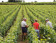 Burgundy (Bourgogne), France - Vintners checking their grapes in early summer