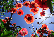 Red poppy like wildflowers are illuminated by the sun in Albemarle County, Va. (photo..Andrew Shurtleff)