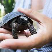 A Mauritian Wildlife Foundation staff member holds a baby Aldabra giant tortoise in her hand. There are 21 adults tortoises on Ile aux Aigrettes, a tiny offshore islet and nature reserve, and many of them are now breeding. Babies like this one have to be hidden and locked up because multiple attempts have been made to steal them for the pet trade.