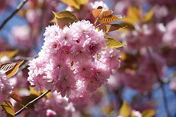 © Licensed to London News Pictures. 21/04/2015. Bristol, Avon, UK. Cherry Blossom blooming in Bristol today, 21st April 2015. The south west of England is set for more warm temperatures and plenty of sunshine today. Photo credit : Rob Arnold/LNP