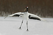 Red Crowned Crane, Grus japonensis, in flight, landing, wings open, Hokkaido Island, japanese, Asian, cranes, tancho, crested, white, black,  wilderness, wild, untamed, photography, ornithology, snow, flying, graceful, majestic.