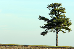 10 November 2007: A lone evergreen stands in solitude near Comlara Park, McLean County, Illinois