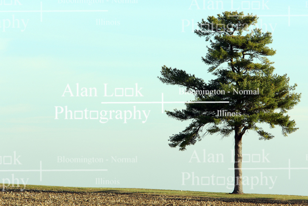 10 November 2007: A lone evergreen stands in solitude near Comlara Park, McLean County, Illinois