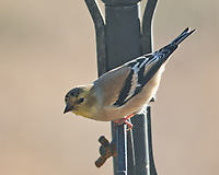American Goldfinch (Spinus tristis). Image taken with a Fuji X-H1 camera and 200 mm f/2 lens + 1.4x teleconverter.