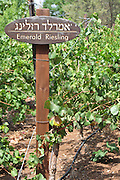 Israel, Lower Galilee, Tabor Winery, Emerald Riesling grapes on a vines August 2008