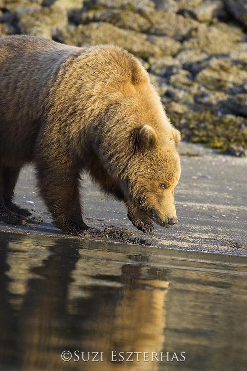 Alaskan Brown Bear<br /> Ursus arctos middendorffi<br /> Clamming<br /> Katmai National Park, AK