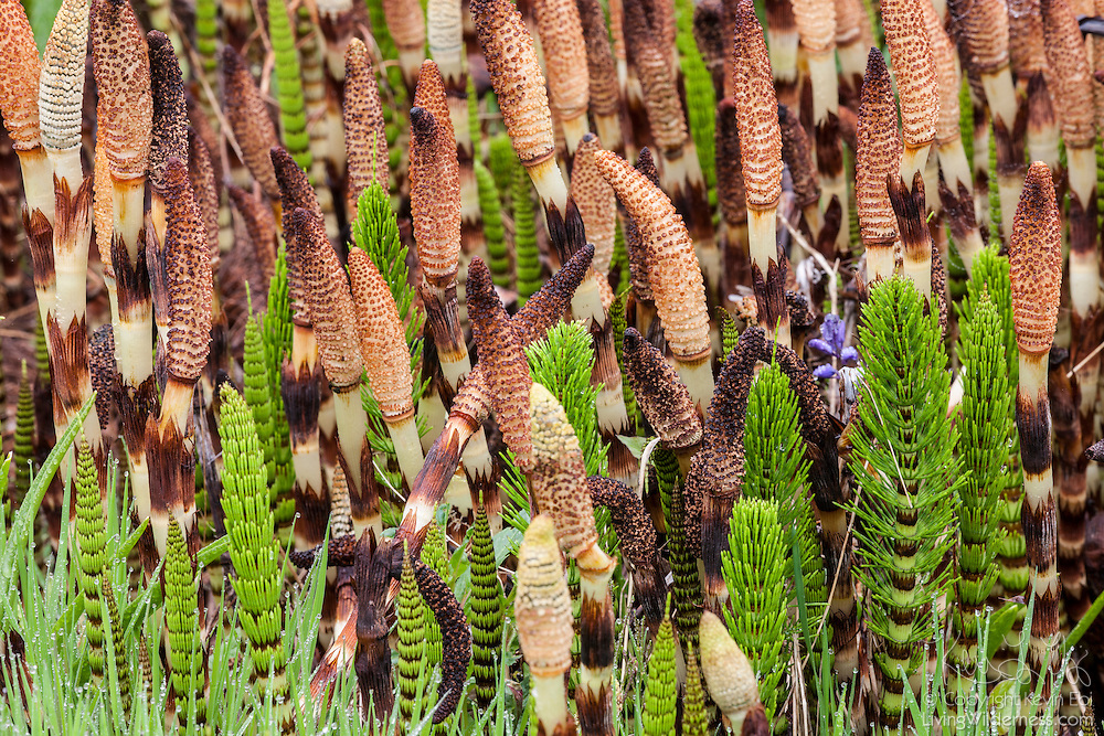 Numerous Northern Giant Horsetails (Equisetum telmateia braunii) in various stages of development are clustered together in the Grays Harbor National Wildlife Refuge near Hoquiam, Washington.