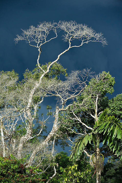 A bare tree stands out against an approaching storm cloud<br /> Yasuni National Park, Amazon Rainforest<br /> ECUADOR. South America