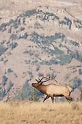 Bull elk in fall in high alpine habitat