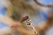 Roseate Skimmer Dragonfly (Orthemis ferruginea) pauses on a branch at Kealia National Wildlife Refuge on Maui, Hawaii.