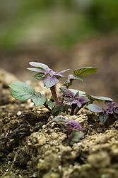 Emerging shoots of Potato 'Red Duke of York' pushing up through the earth - Solanum tuberosum