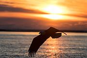 Bald eagle in Alaska flying at sunset