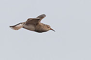 Pectoral Sandpiper - Calidris melanotos - breeding adult
