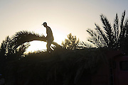 A young man carries palm tree branches pruned from trees on the grounds of a hotel and campground outside the village of Ouled Driss, Morocco.