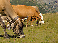 Chiesa Valmalenco (SO),mucche al pascolo.cattle at pasture.