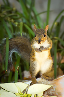 Squirrel in Homosassa Springs, Citrus County, Fl.