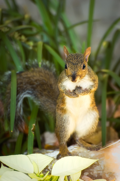 Squirrel in Homosassa Springs, Citrus County, Fl.
