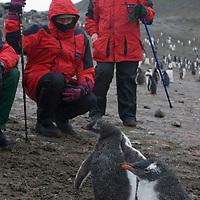 Enduring rain, tourists admire gentoo penguin chicks on a beach on Aitcho Island, in the South Shetland Islands near the Antarctic Peninsula, Antarctica.