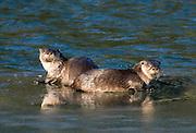 Alaska. Northern River Otters (Lontra canadensis) resting on ice edge, Seward.