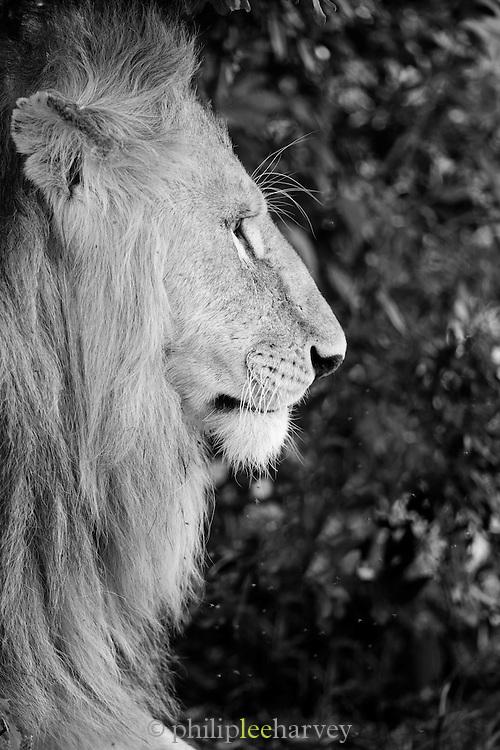 A lion seen in the Maasai Mara National Reserve, Kenya