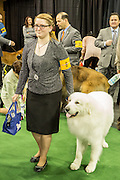 New York, NY - 16 February 2016. A woman and a Great Pyrenees wait to enter the ring  at the 140th Westminster Kennel Club Dog show in Madison Square Garden.