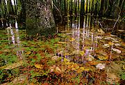 Tupelo Swamp in Fall - South Carolina.