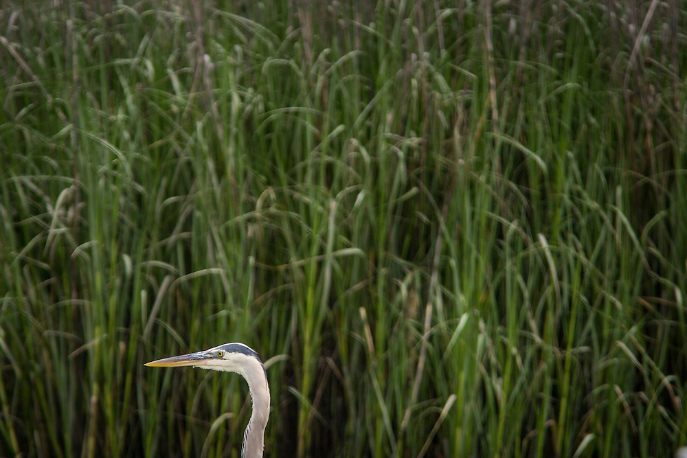A great blue heron stands on the edge a salt marsh at low tide.