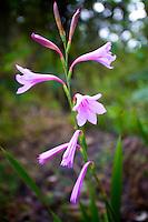 pink petal, daffodil, grass, land