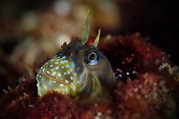 Stellar rockskipper, Entomacrodus stellifer, hiding in a barnacle. Along the shore of Sai Kung East Country Park. Mission Wild Sea Hong Kong / National Geographic Explorer grant