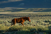 Wild horse or mustang foal