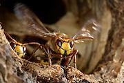 Hornisse (Vespa crabro) sorgt für frische Luft in ihrem Nest, welches sich in einer Baumhöhle befindet. Biosphärenreservat Niedersächsische Elbtalaue, Deutschland.  | Brown hornet or European hornet (Vespa crabro)