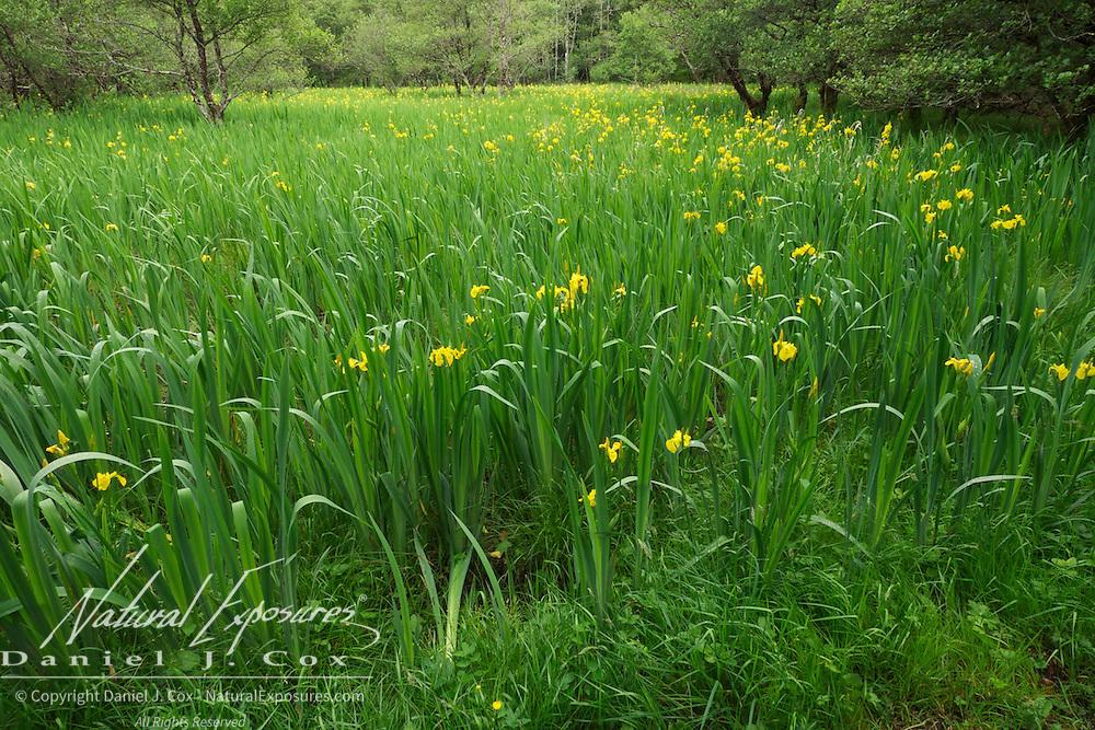 Yellow Iris, Killarney National Park, Ireland.