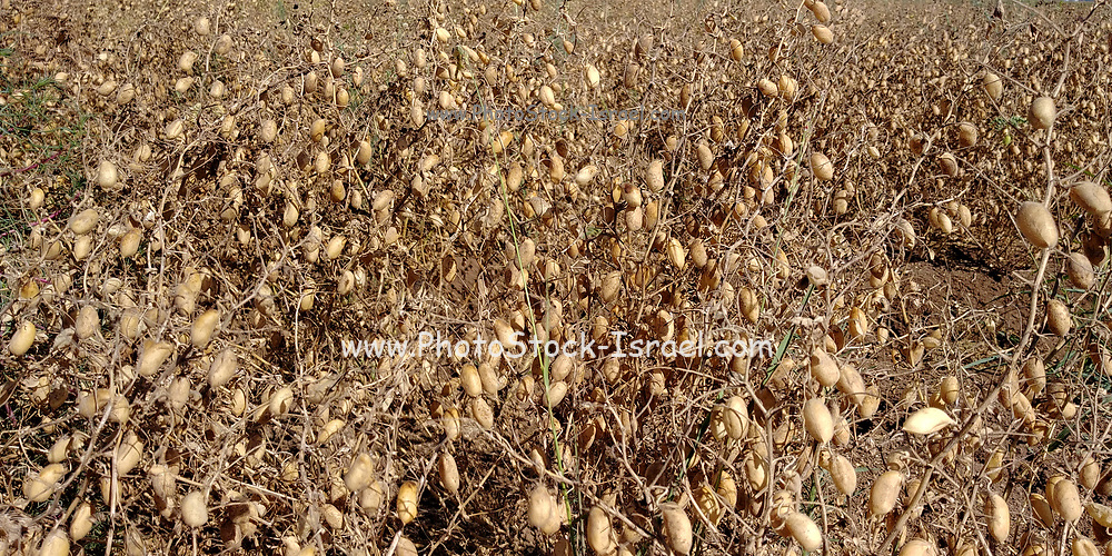 chickpea or chick pea (Cicer arietinum) pods drying on a plant
