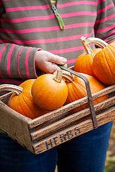 Trug of harvested pumpkins