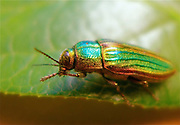 jewel beetle insect Insects, bugs, and arachnids among other invertebrates in southern BC and Vancouver Island in the Pacific North-West.