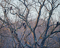 Vultures. Image taken with a Nikon D850 camera and  500 mm f/4 VR lens.