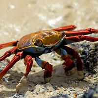South America, Ecuador, Galapagos, Floreana. Sally Lightfoot Crab of the Galapagos.