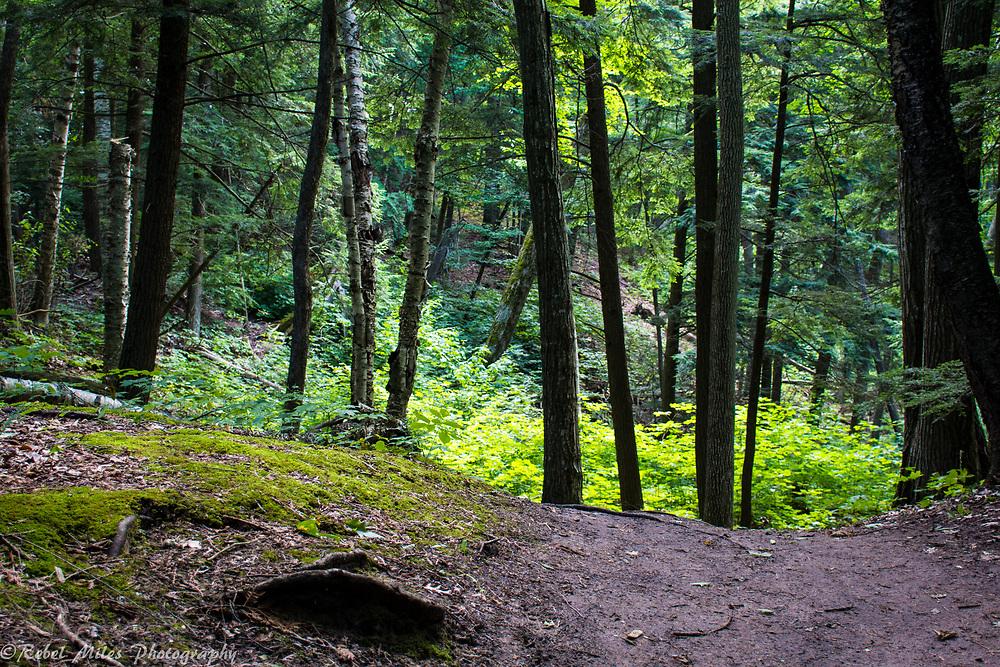 Lush Northern Michigan Forest
