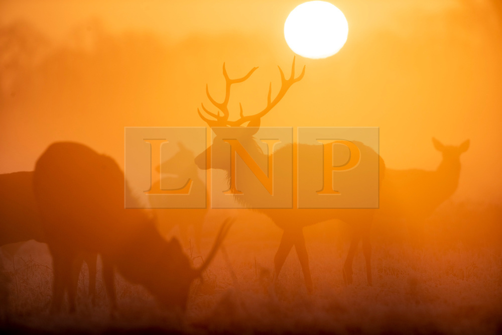 © Licensed to London News Pictures. 06/02/2020. London, UK. The sun rises behind a herd of deer on a misty morning in Bushy Park, south west London. After a period of clear and cold days, rain and wind are forecast for the next few days as the UK feels the effects of Storm Ciara. Photo credit: Peter Macdiarmid/LNP