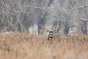 Mule deer Mule deer buck during autumn rut