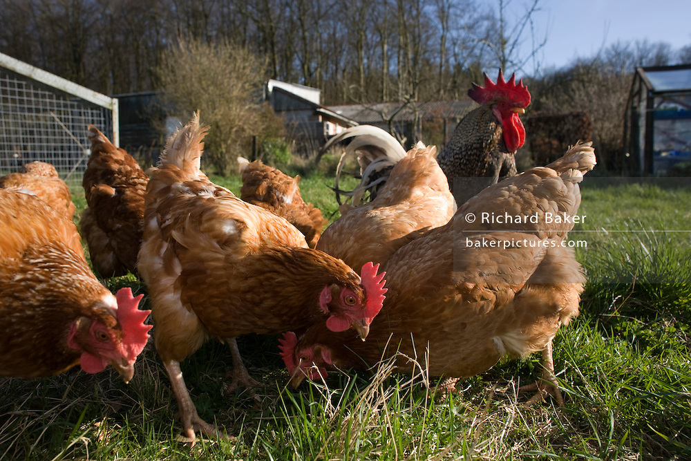 Free range hen chickens roam in a green field belonging to a smallholding farm in North Somerset, England.