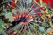 A foot-long fire lionfish (Pterois radiata) glides over a colorful reef encrusted with corals, sponges and bryozoans 45 feet below the surface of the Red Sea at Ras Mohammed, Sinai, Egypt. The fire lionfish is a deceptively passive predator with 11 dorsal spines each capable of delivering an extremely toxic venom. Although they rarely attack humans, a wound caused by these spines can result in excruciating pain and shock. Lionfish, due to their potentially lethal defense, demonstrate indifference to all predatory species including man. They are known to hunt primarily at dusk, blending effectively with their surroundings where they slowly approach small fish and other prey which are then aggressively devoured.