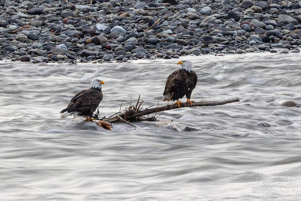 Two adult bald eagles (Haliaeetus leucocephalus) watch for fish from a perch in the Nooksack River in Welcome, Washington. Hundreds of bald eagles winter in the area to feast on spawning chinook salmon.