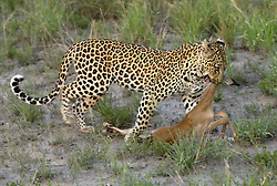 July 6, 2015 - Leopard, female carrying prey, Sabie Sand Game Reserve, South Africa  (Credit Image: © Tuns/DPA/ZUMA Wire)