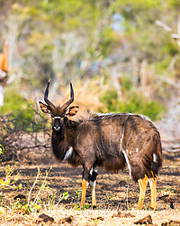 The nyala (Tragelaphus angasii), also called inyala,is a spiral-horned antelope native to southern Africa. It is a species of the family Bovidae and genus Nyala, also considered to be in the genus Tragelaphus.