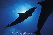 Atlantic spotted dolphins, Stenella frontalis, silhouettes, Little Bahama Bank, Bahamas ( Western Atlantic Ocean )