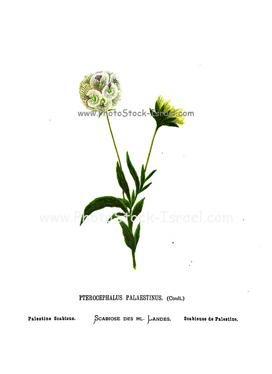 Palestine scabious (Pterocephalus palaestinus) From the book Wild flowers of the Holy Land: Fifty-Four Plates Printed In Colours, Drawn And Painted After Nature. by Mrs. Hannah Zeller, (Gobat); Tristram, H. B. (Henry Baker), and Edward Atkinson, Published in London by James Nisbet & Co 1876 on white background