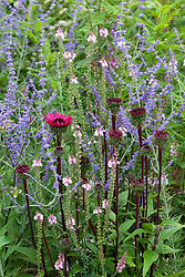 Echinacea (from Bob Brown's check i.d) with Perovskia (check i.d) and Linaria (poss Linaria purpurea 'Canon Went' but check i.d)