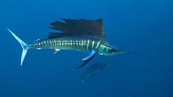 Atlantic sailfish, Istiophorus albicans, or Istiophorus platypterus, displaying vivid coloration typically seen while feeding. Isla Mujeres, Yucatan Peninsula, Mexico, Caribbean Sea, Atlantic Ocean